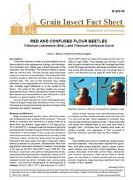 Red and Confused Flour Beetles