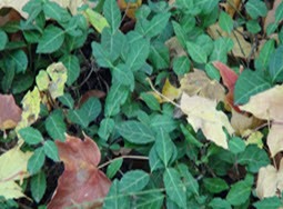 Invasive Plant Species: Wintercreeper