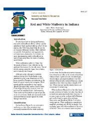 Red and White Mulberry in Indiana
